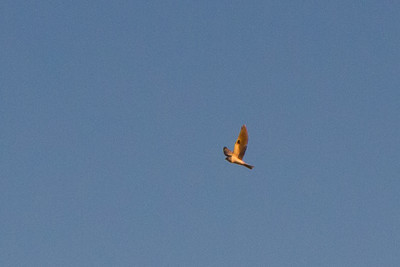 White-tailed kite over Fairmont Ridge.