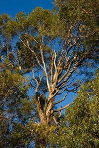 Hawk in eucalyptus tree at Fairmont Ridge.