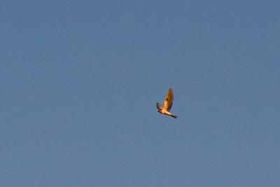 White-tailed kite over Fairmont Ridge.